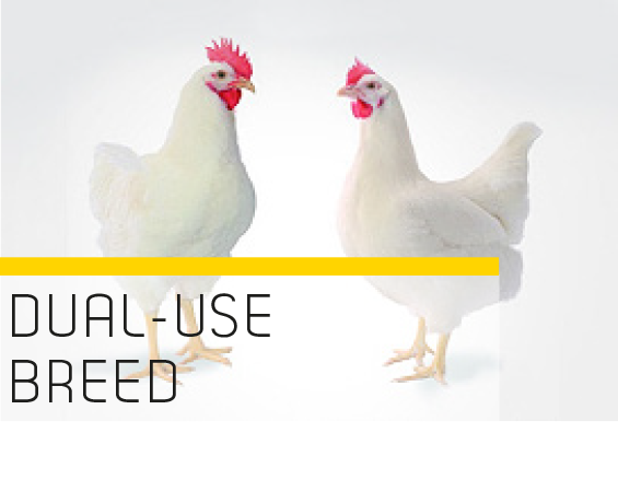 c60f12b9d16 Essentially, an economical dual-use breed with a good egg-laying and  fattening capacity would be an optimum process. This, however, has not been  possible ...